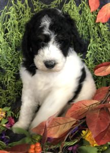 Available Puppies | The Dennis's Doodles